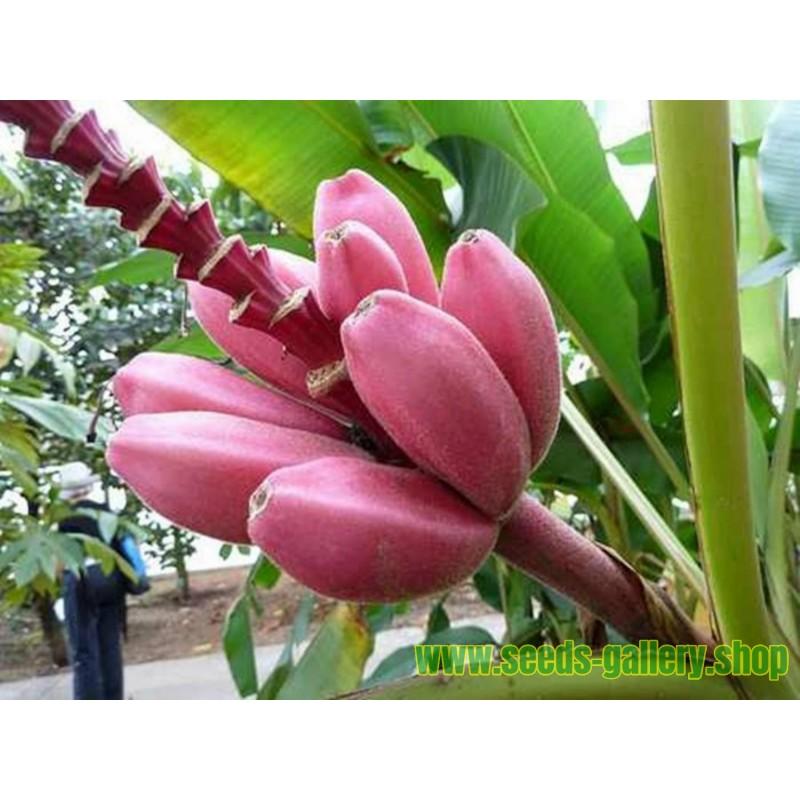 Banana Musa Ornata Seeds