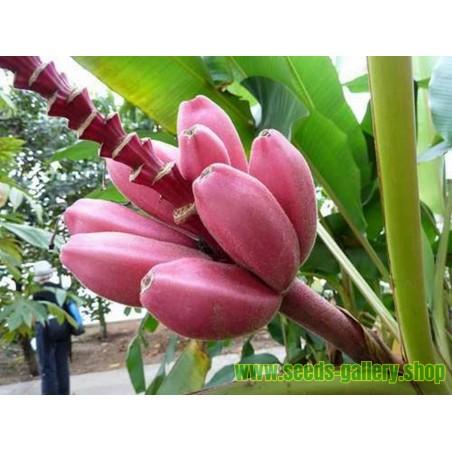 Banane Musa ornata Samen - Zwergbanane Saatgut