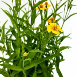 Mexican Tarragon Seeds (Tagetes lucida) 1.65 - 2