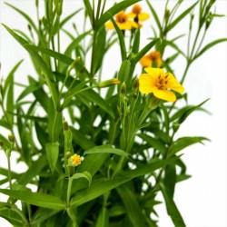 Yauhtli - Mexikanische Estragon Samen (Tagetes lucida) 1.65 - 2
