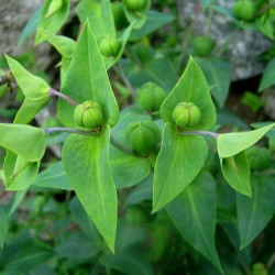 Caper Spurge or Paper Spurge Seeds 2.45 - 3