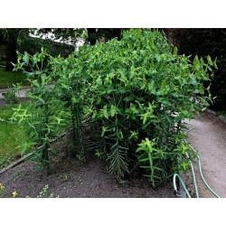 Semillas De Tártago (Euphorbia lathyris) 2.45 - 1