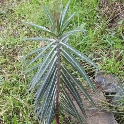 Växtfrön Euphorbia Lathyris 2.45 - 2