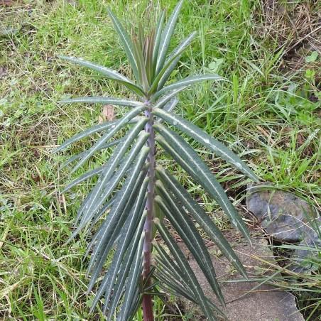 Σπόροι Αγριόχορτο Ευφορβία-Γαλατσίδες 2.45 - 2