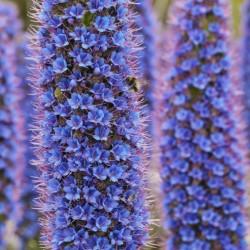 Frön Madeiras Stolthet 1.5 - 1