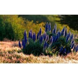 Blauer Natternkopf Samen - Stolz von Madeira 1.5 - 5