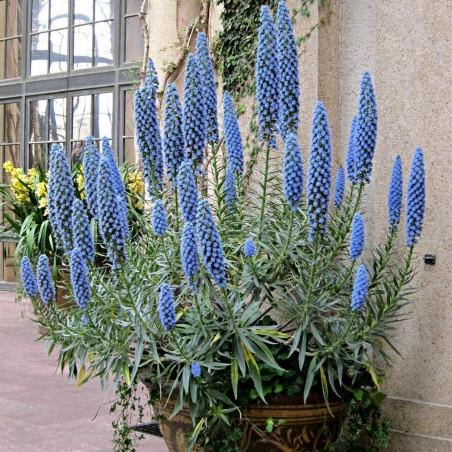 Blauer Natternkopf Samen - Stolz von Madeira 1.5 - 6