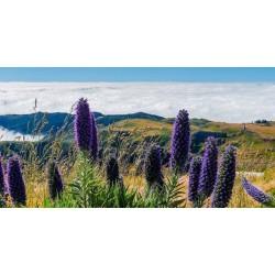 Semi di 'Orgoglio di Madeira' 1.5 - 7