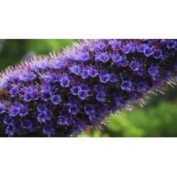 Blauer Natternkopf Samen - Stolz von Madeira 1.5 - 10