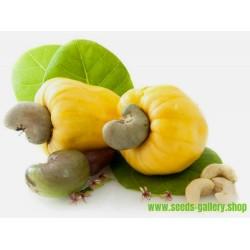 Σπόροι Κάσιους - ανακάρδια ή κάσιους (Anacardium occidentale)
