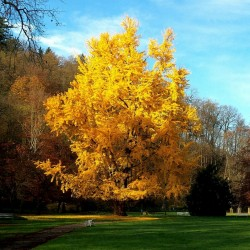 MAIDENHAIR TREE Seeds (Ginkgo biloba) 3.5 - 2
