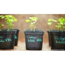 Semillas de Ginkgo biloba o árbol de los cuarenta escudos 3.5 - 7