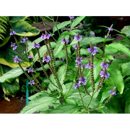 Echte Eisenkraut Samen (Verbena officinalis) 1.75 - 2