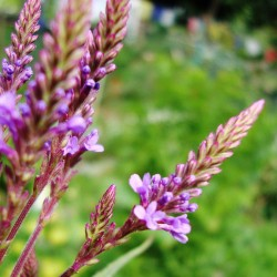 Echte Eisenkraut Samen (Verbena officinalis) 1.75 - 3