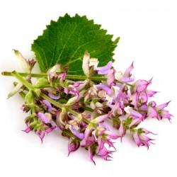 Sementes De Salvia Sclarea
