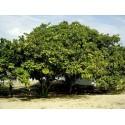 Cashew - Indijski Orah Seme (Anacardium occidentale)