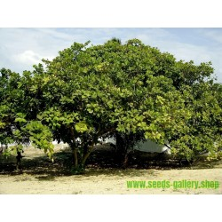 Kaschubaum - Kaschu Samen (Anacardium occidentale)