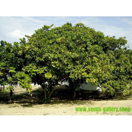 Sementes de Caju (Anacardium occidentale)