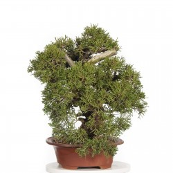 Chinese Juniper Bonsai Seme 1.5 - 1