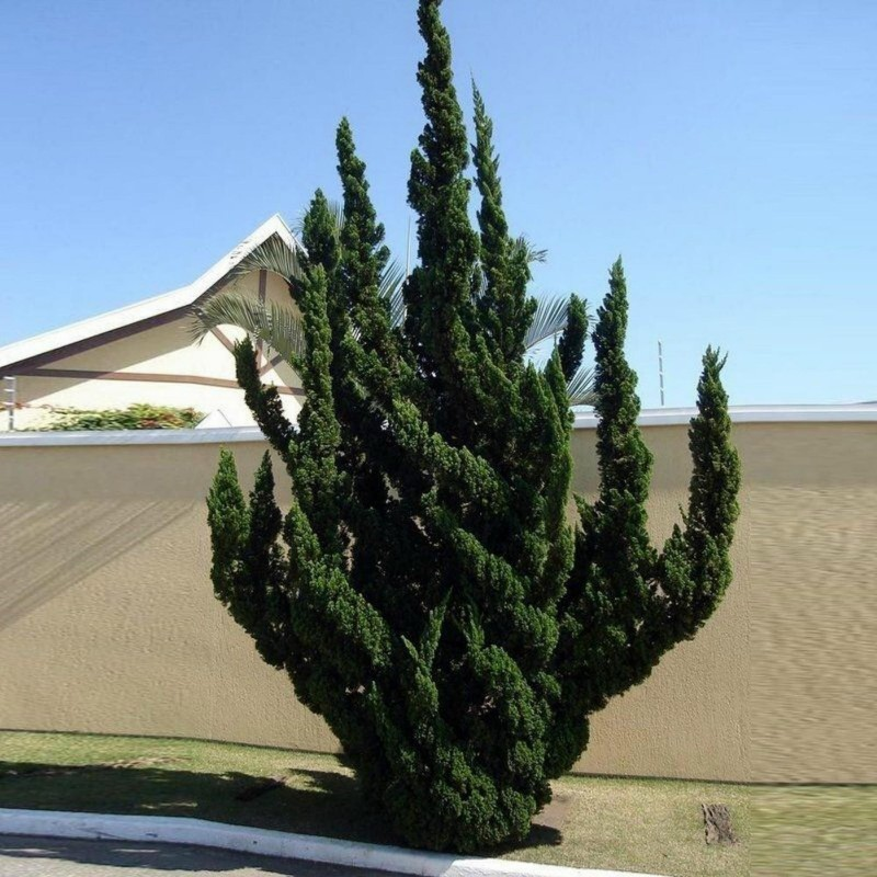 Juniperus chinensis Bonsai Seeds 1.5 - 4