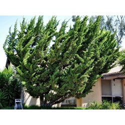 Juniperus chinensis Bonsai Seeds 1.5 - 3