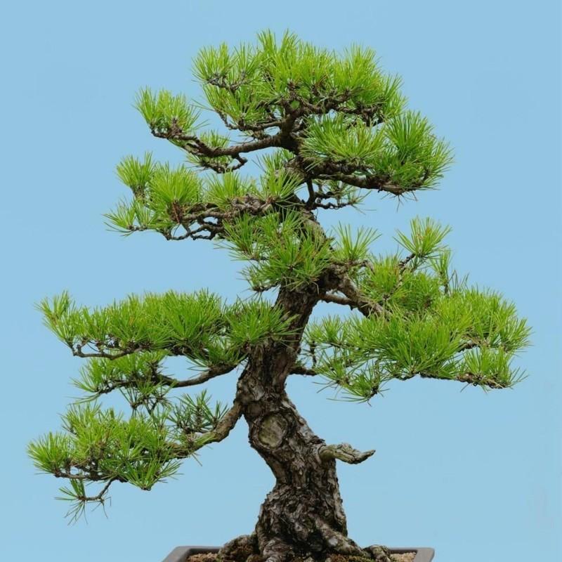 Graines de Bonsai (Pinus densiflora) 1.5 - 3