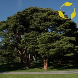 Graines de Bonsai (Pinus densiflora) 1.5 - 1