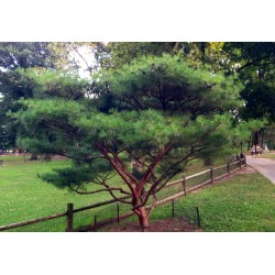 Semillas Bonsai (Japanese Red Pine) 1.5 - 2