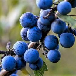 Semi di Prugnolo Selvatico (Prunus spinosa) 1.85 - 1