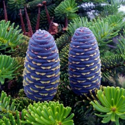 Graines de Pin de Sibérie (Pinus sibirica) 3.95 - 7
