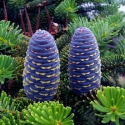 Siberian tall Frön (Pinus...