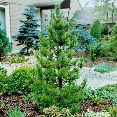 Samen Sibirische Zeder (pinus sibirica) 3.95 - 3