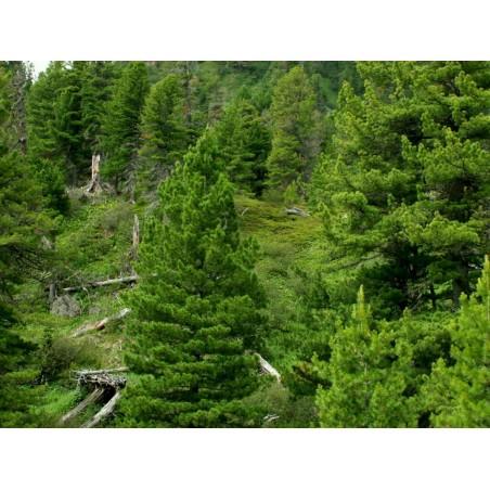 Siberian pine Seeds 3.95 - 4