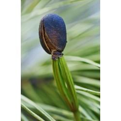 Sementes de Pinus sibirica 3.95 - 5
