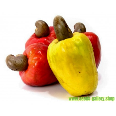 Graines de Noix De Cajou - Cajou Fruitier (Anacardium occidentale)