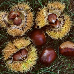 Chinese Chestnut Seeds (Castanea mollissima) 2.95 - 2