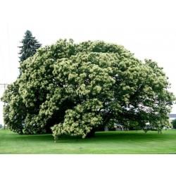 Kinesiska Kastanjfrö (Castanea mollissima) 2.95 - 3