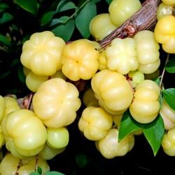 Sementes de Tahiti Estrela, Groselha Estrela (Phyllanthus acidus) 2.049999 - 7