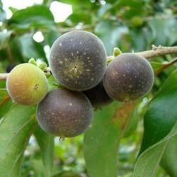 Ceylon Krusbär Frön (Dovyalis hebecarpa) 2.95 - 1