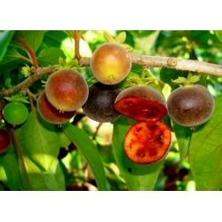 Ceylon Krusbär Frön (Dovyalis hebecarpa) 2.95 - 4