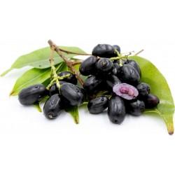 Sementes de Jamelão, Jambolão, Jamborão (Syzygium cumini) 2.95 - 6