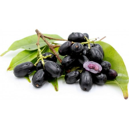 Java δαμάσκηνο, Malabar δαμασκή σπόροι (Syzygium cumini) 2.95 - 6