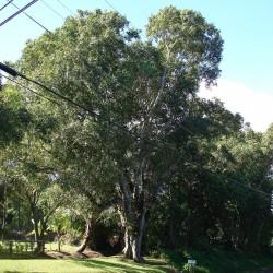 Java δαμάσκηνο, Malabar δαμασκή σπόροι (Syzygium cumini) 2.95 - 2