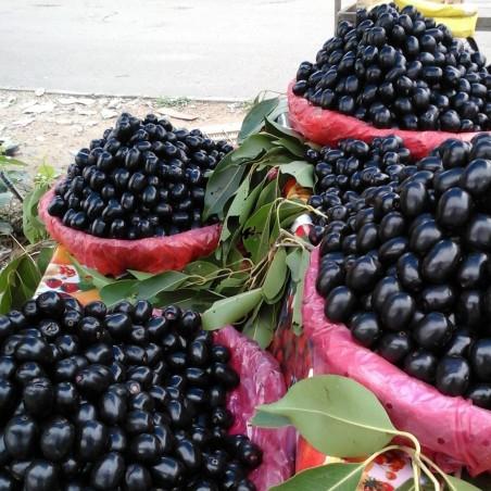 Java δαμάσκηνο, Malabar δαμασκή σπόροι (Syzygium cumini) 2.95 - 3
