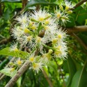 Graines Goémon blanc, Mousse d'Irlande, Carragheen (Chondrus crispus)