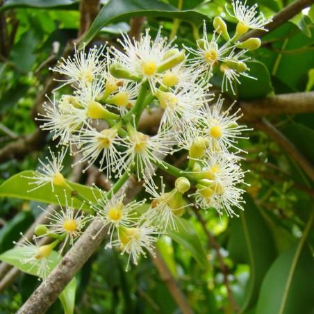 Java δαμάσκηνο, Malabar δαμασκή σπόροι (Syzygium cumini) 2.95 - 5