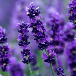 Verkliga Lavendel Frön