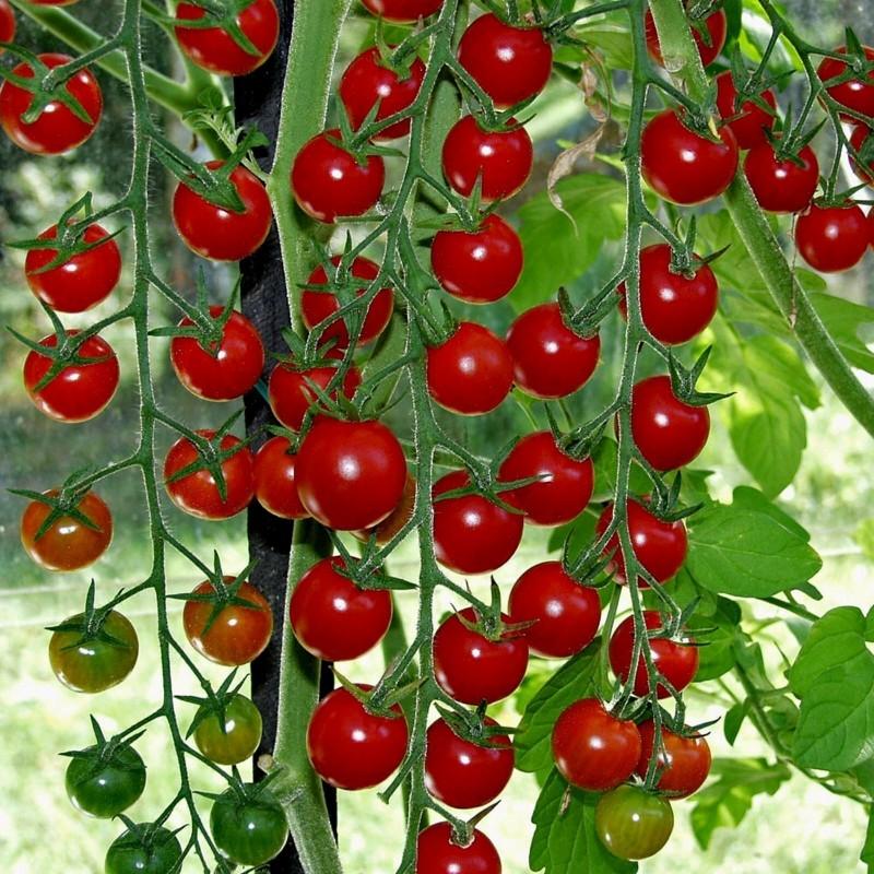 Graines de Tomate SUPERSWEET 100 1.85 - 1
