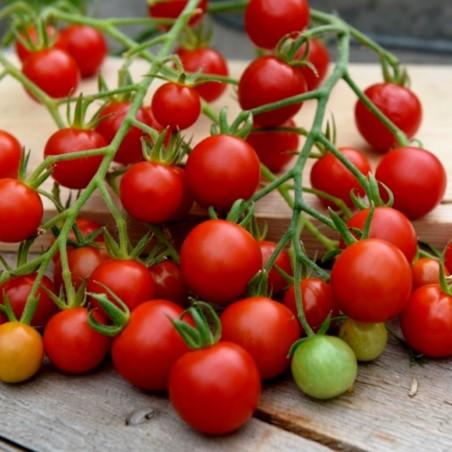 Seme Cherry Paradajza SUPER SWEET 100 1.85 - 2