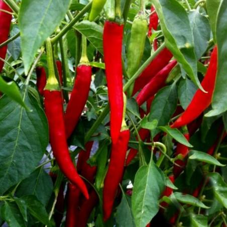 Taeyang Medium Chili Frön 1.85 - 1